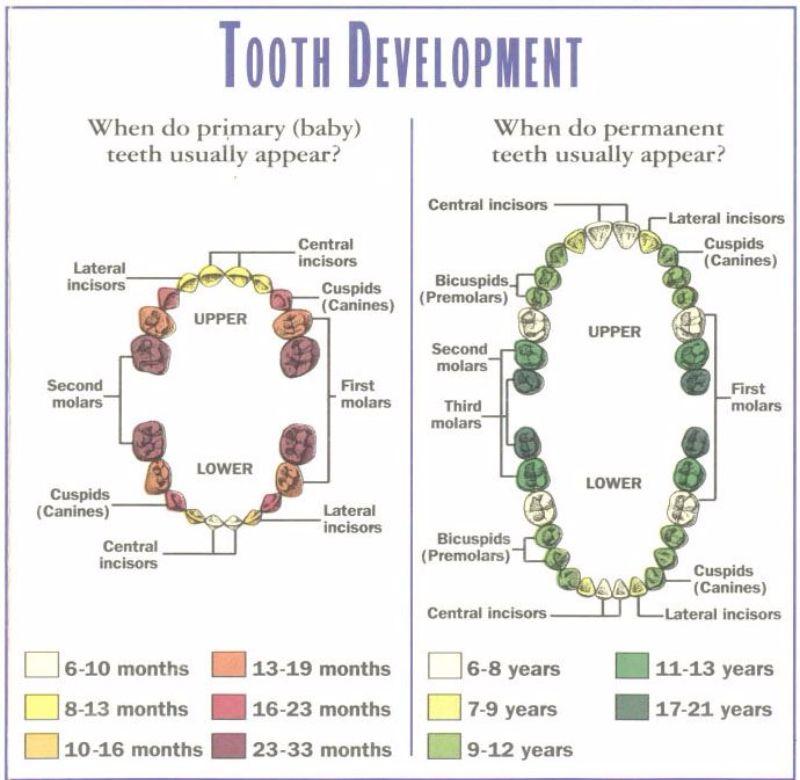 Free Baby Teeth Chart 02