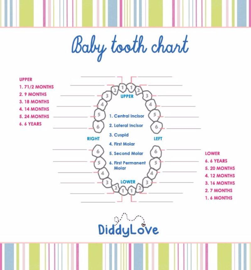 This is a photo of Handy Baby Teeth Chart Printable
