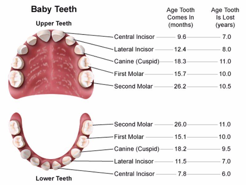 Free Baby Teeth Chart 09