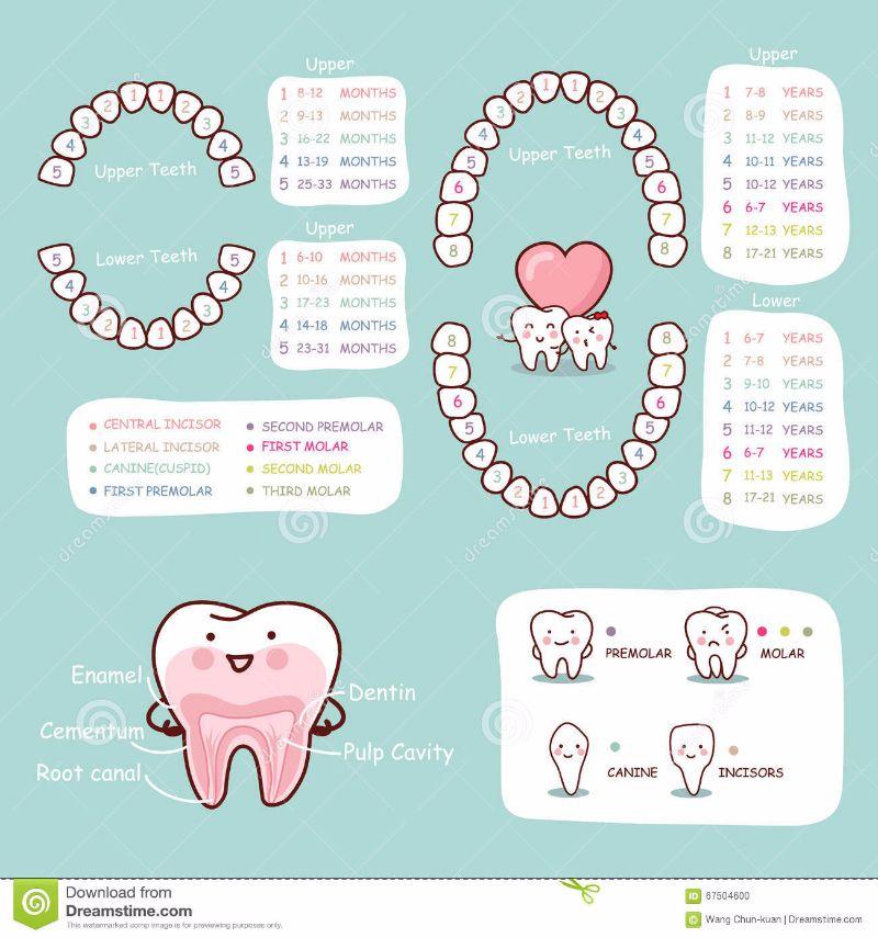 Free Baby Teeth Chart 16
