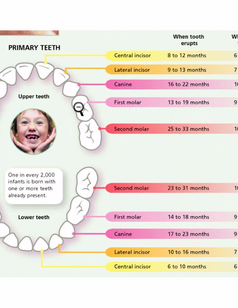 Free Baby Teeth Chart 20