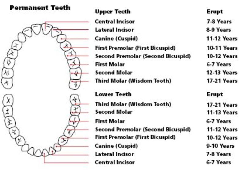 Free Baby Teeth Chart 30