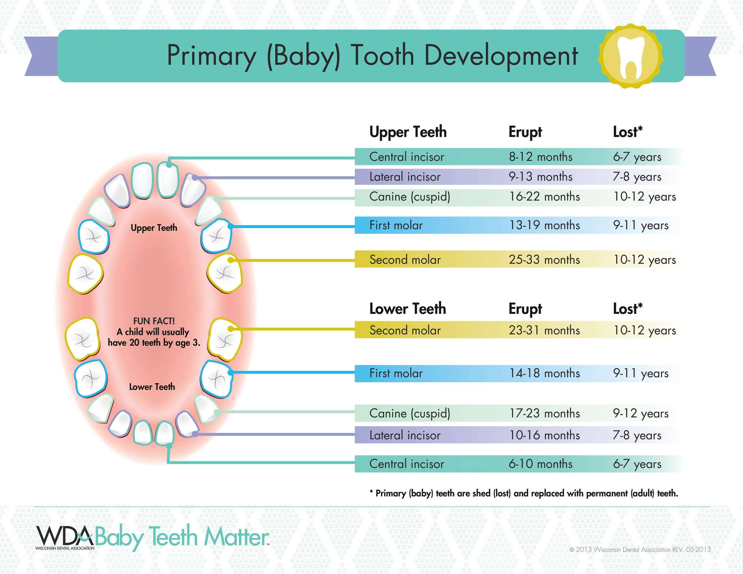 photo regarding Baby Tooth Chart Printable titled 38 Printable Little one Enamel Charts Timelines ᐅ Template Lab