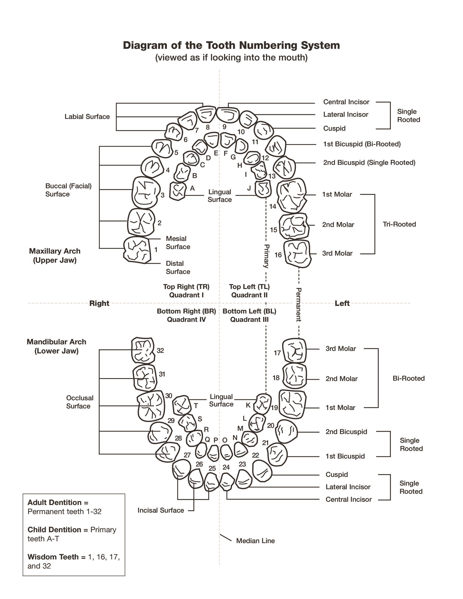 Free Baby Teeth Chart 36